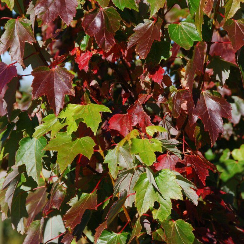 Acer rubrum 'Brandy Wine'