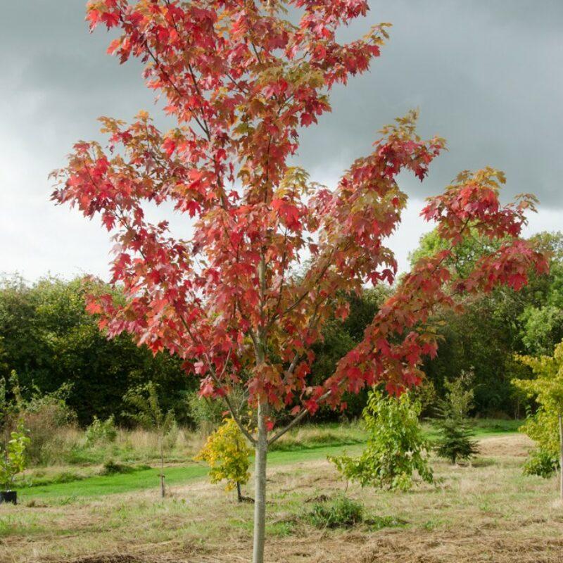 Acer x freemanii 'Autumn Blaze' ® 1