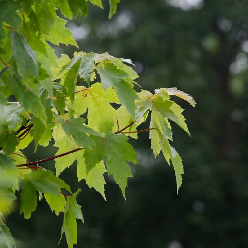Acer x freemanii 'Autumn Blaze' ®