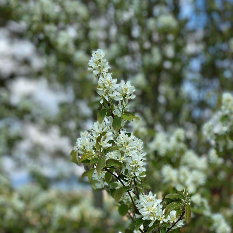 Amelanchier alnifolia 'Obelisk' ®