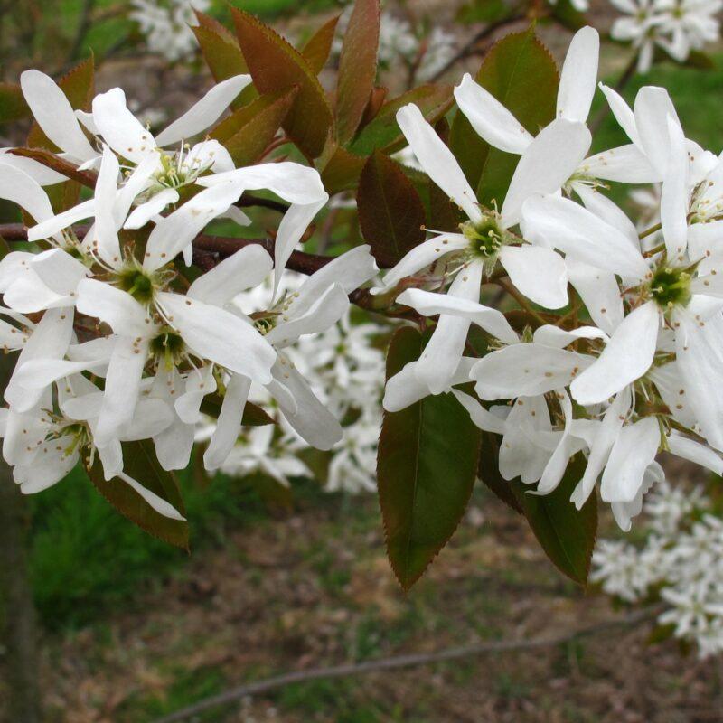 Amelanchier x grandiflora 'Ballerina'