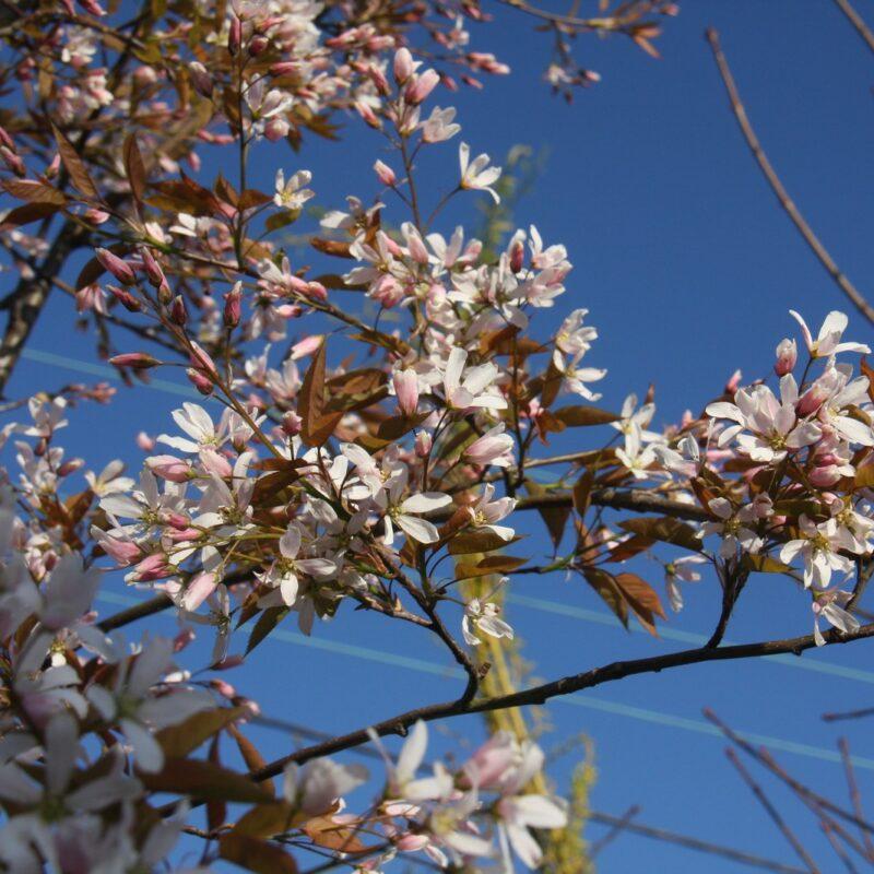 Amelanchier x grandiflora 'Robin Hill'