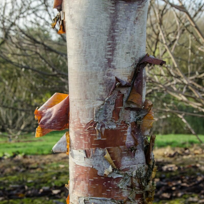 Betula albosinensis 'Kansu'