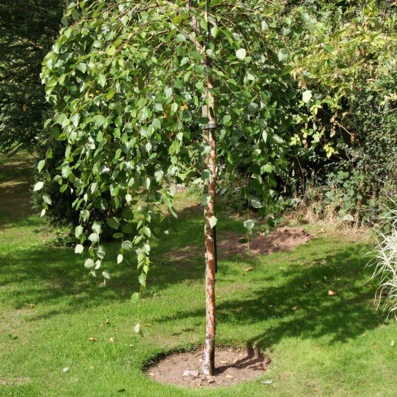 Betula nigra 'Summer Cascade' ®