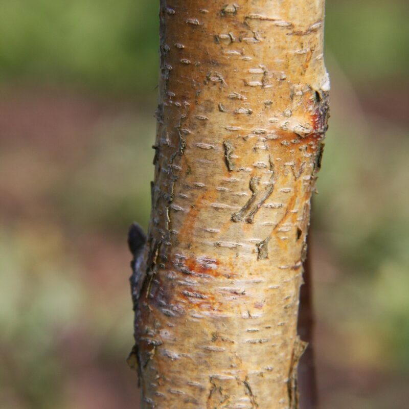 Betula pendula  'Fastigiata Joes' ® (JOLEP 1)