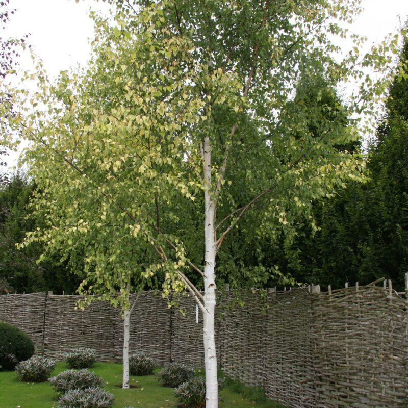 Betula pendula 'Golden Beauty'