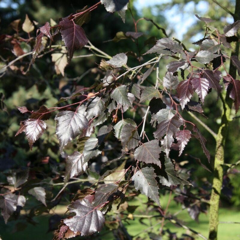 Betula pendula 'Royal Frost' ® 1