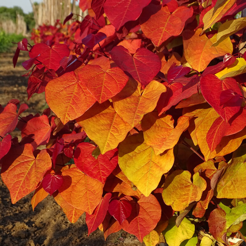 Cercis canadensis 'Eternal Flame'®
