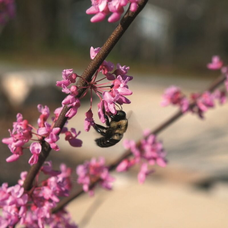Cercis canadensis 'Hearts of Gold' ®
