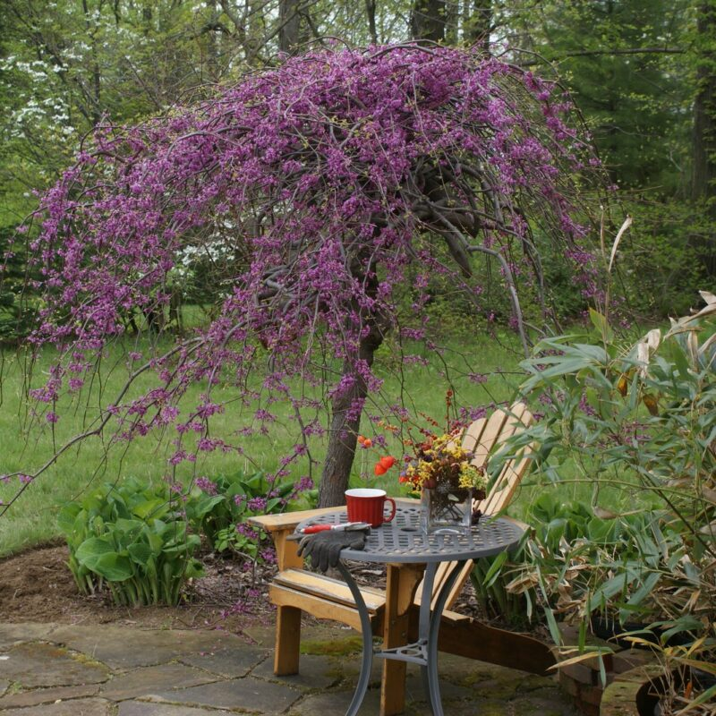 Cercis canadensis Lavender Twist ® ('Covey')