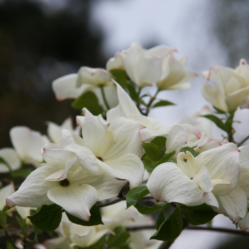 Cornus 'Eddies White Wonder'