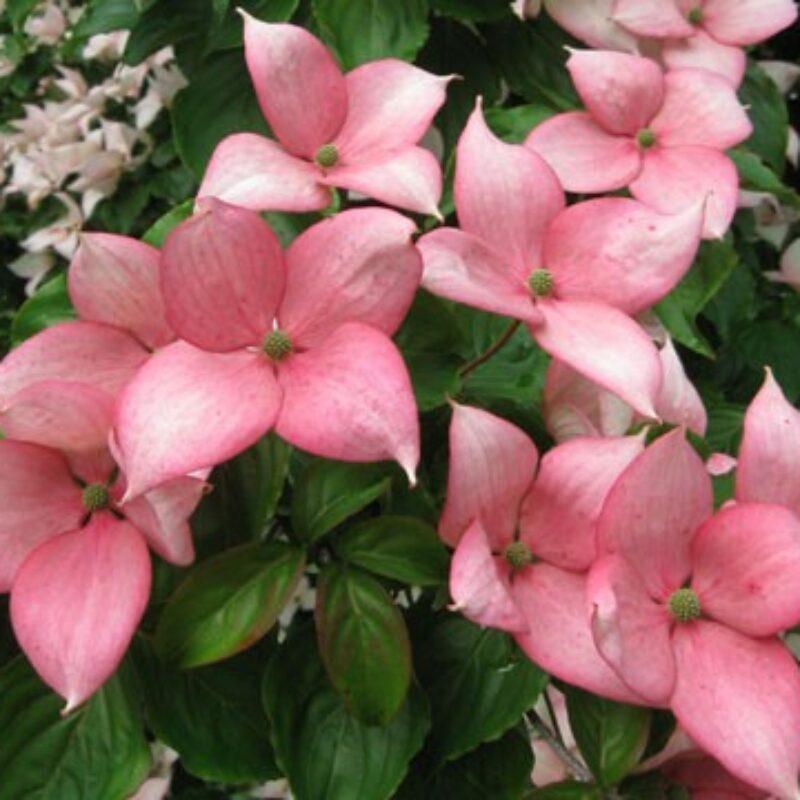 Cornus kousa 'Rosy Teacups'