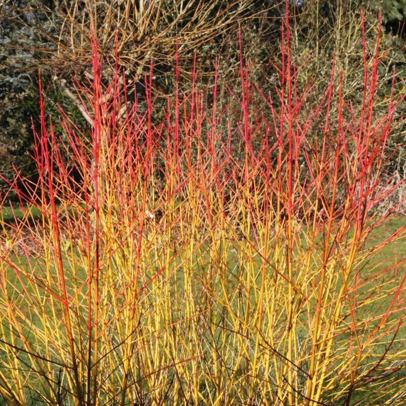 Cornus sanguinea 'Midwinter Fire'