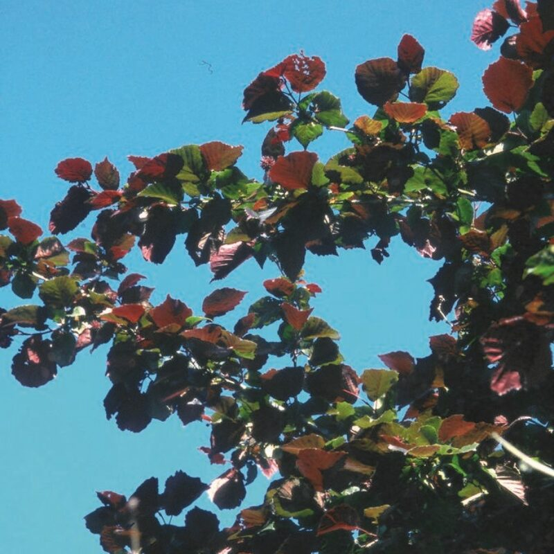 Corylus 'Te-Terra Red'