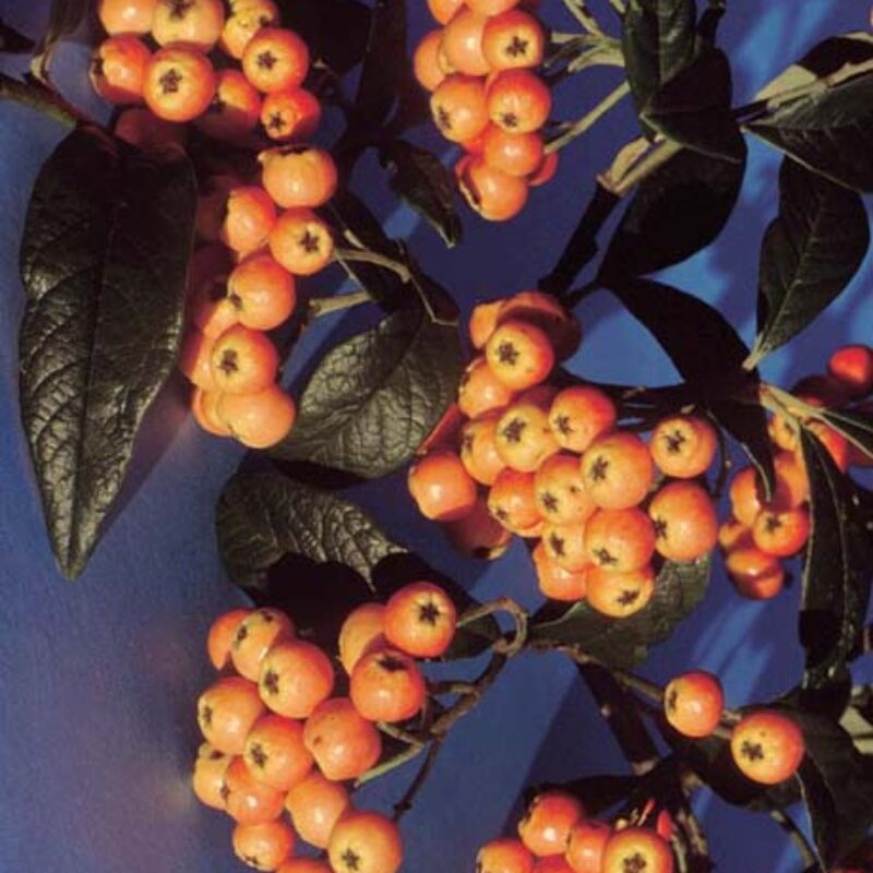 Cotoneaster salicifolius 'Exburiensis'