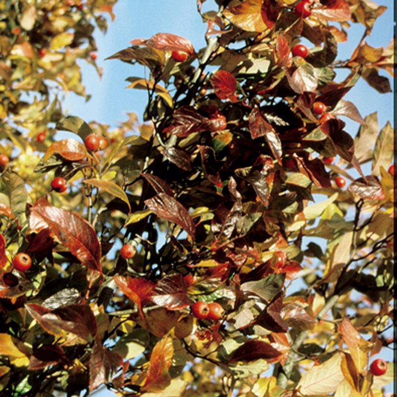 Crataegus persimilis 'Prunifolia'
