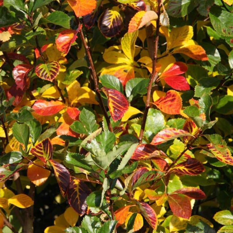 Crataegus 'Prunifolia Splendens'