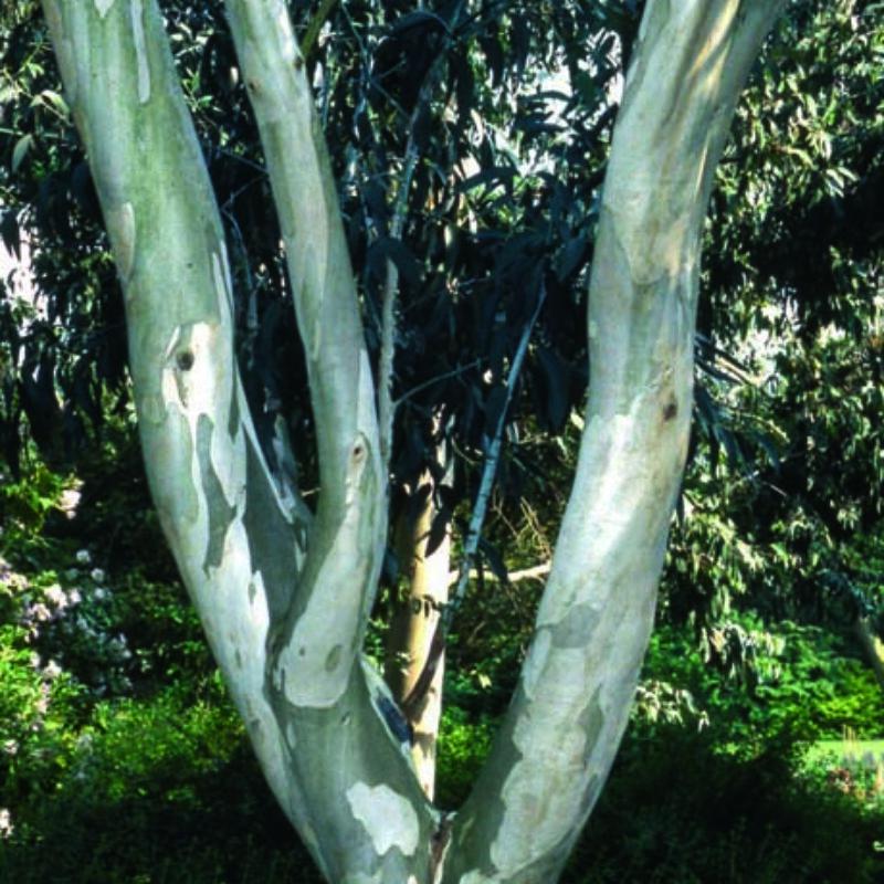 Eucalyptus pauciflora niphophila