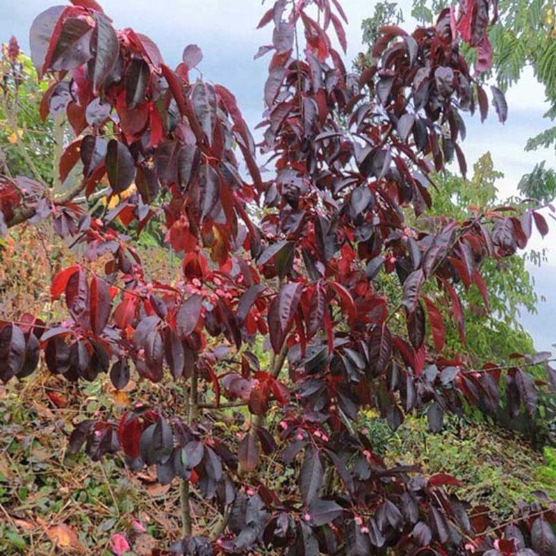 Euonymous gra 'Ruby Wine'