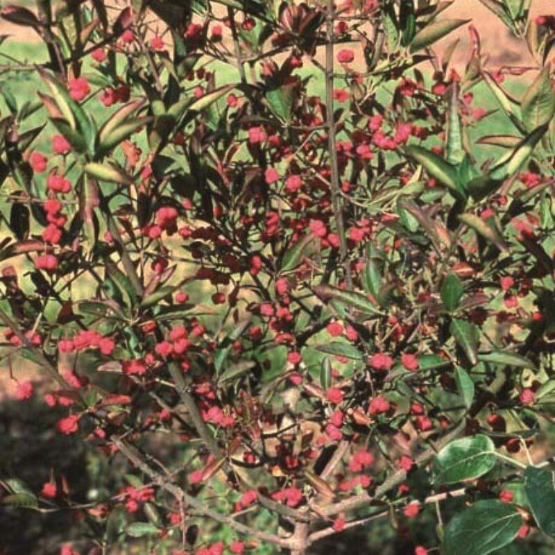 Euonymus hamiltonianus 'Indian Summer'