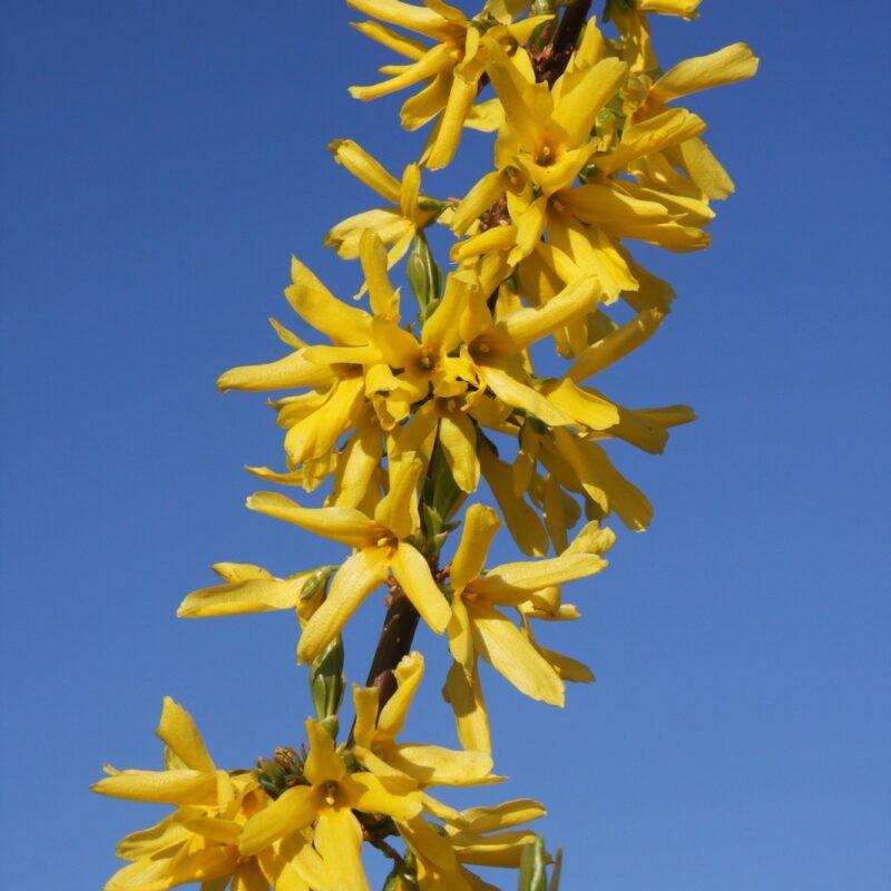 Forsythia x intermedia 'Lynwood'