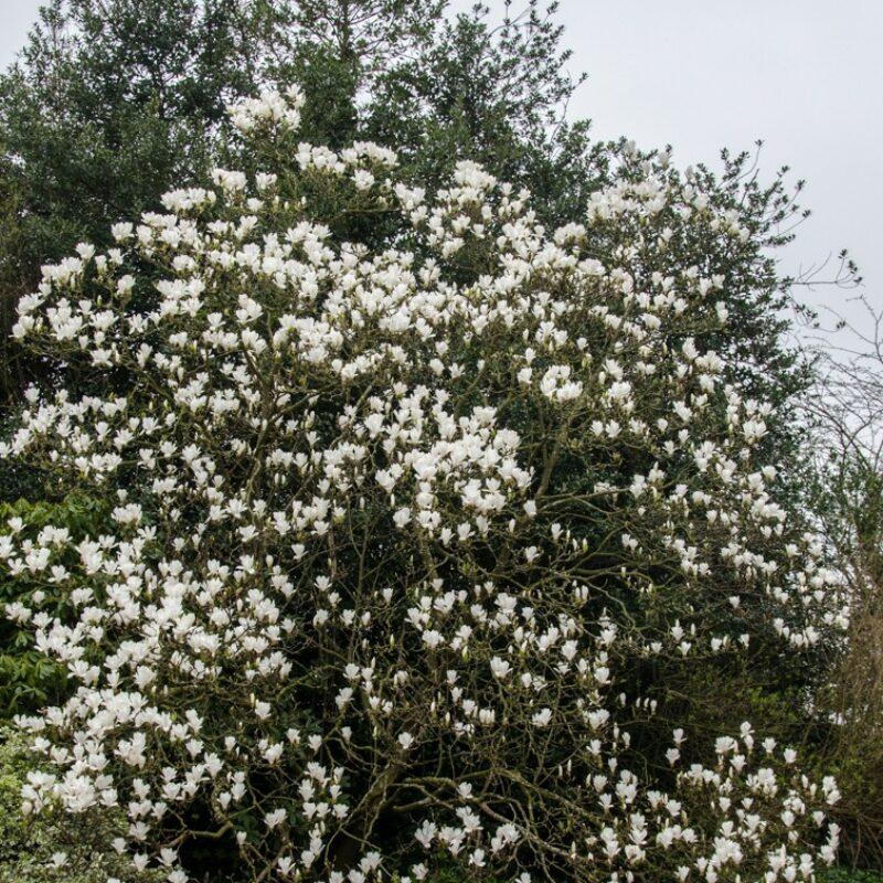 Magnolia 'Alba Superba' (White)