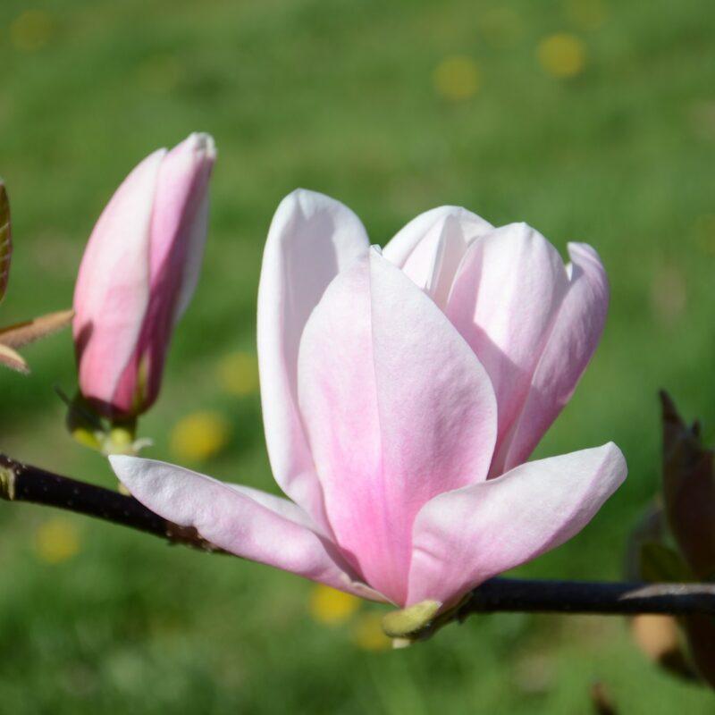 Magnolia 'Alex' (Pink)