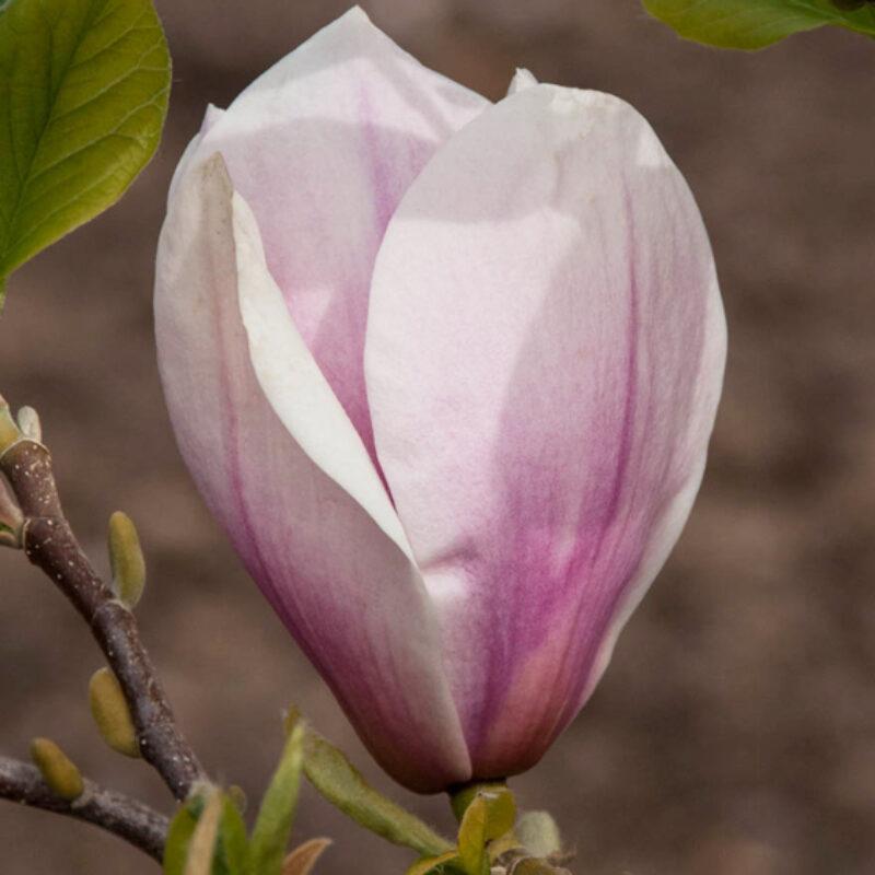 Magnolia 'Big Dude' (Light Pink)