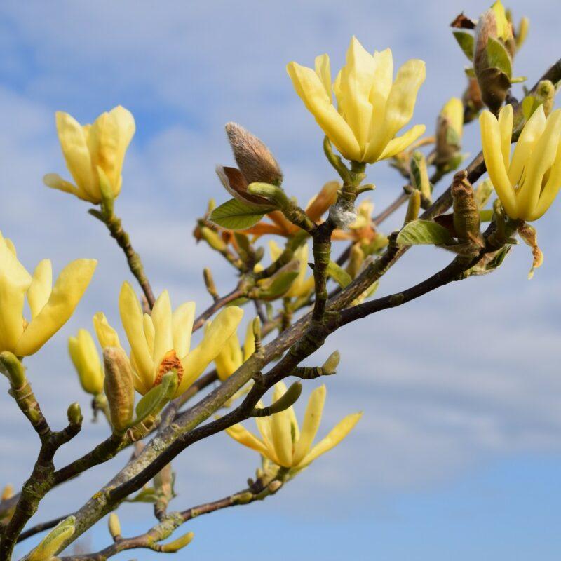 Magnolia 'Butterflies' (Yellow)