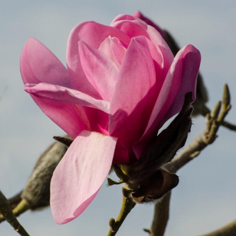 Magnolia 'Caerhays Belle' (Salmon Pink)