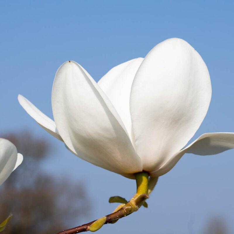 Magnolia 'David Clulow' (White)