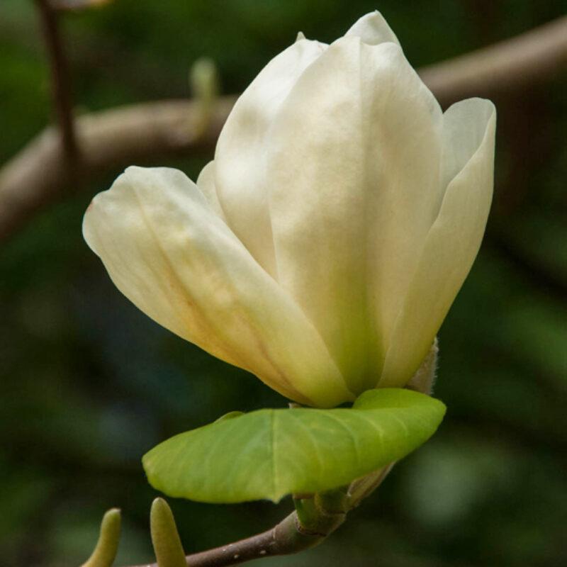Magnolia denudata 'Yellow River' (Cream Yellow)