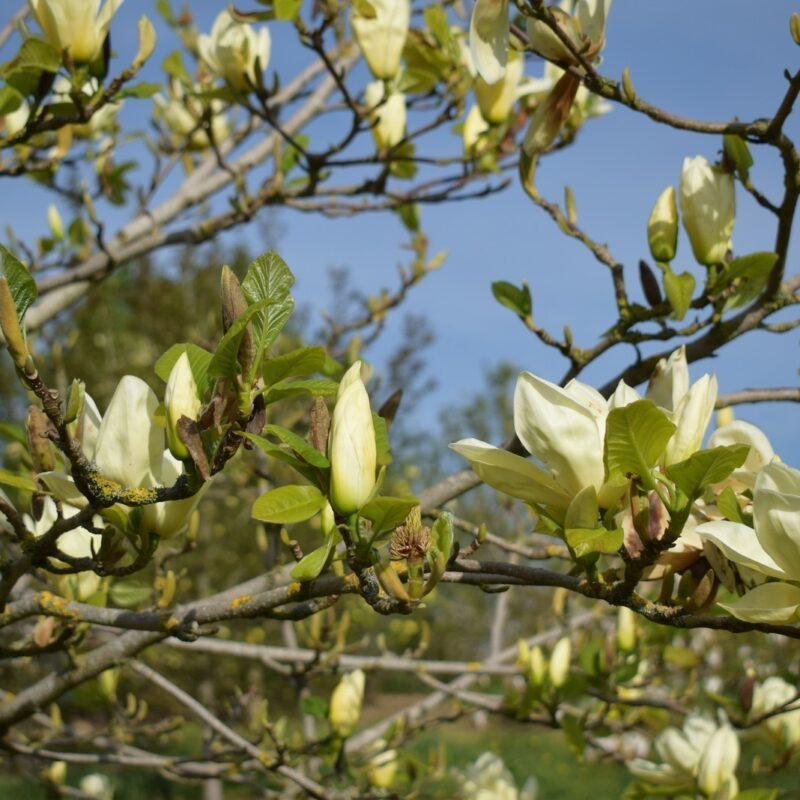 Magnolia 'Elizabeth' (Yellow) 1