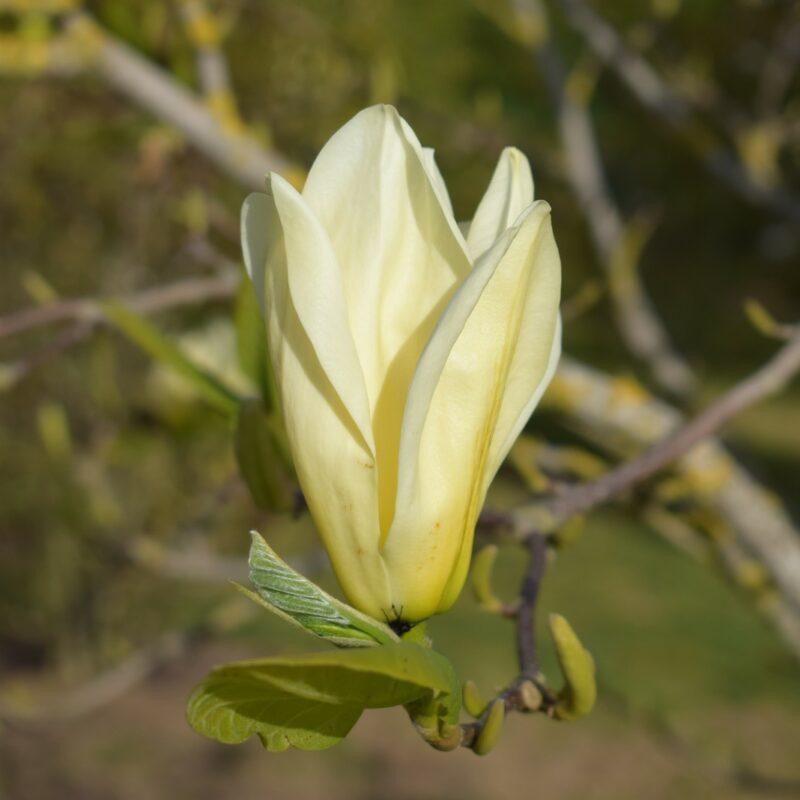 Magnolia 'Elizabeth' (Yellow)