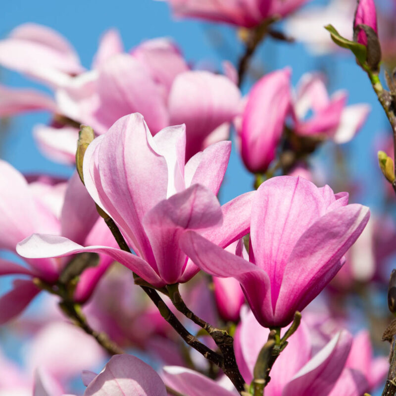 Magnolia 'Galaxy' (Rich Pink)