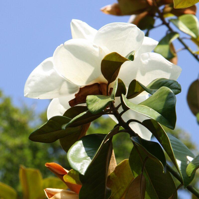 Magnolia grandiflora 'Exmouth' (White)