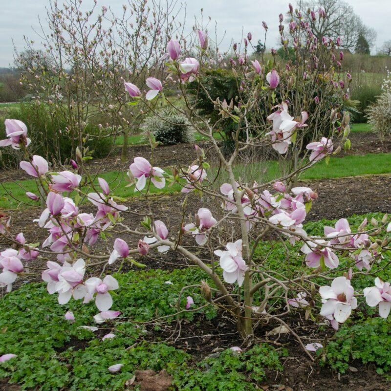 Magnolia 'Iolanthe' (Pink) 1