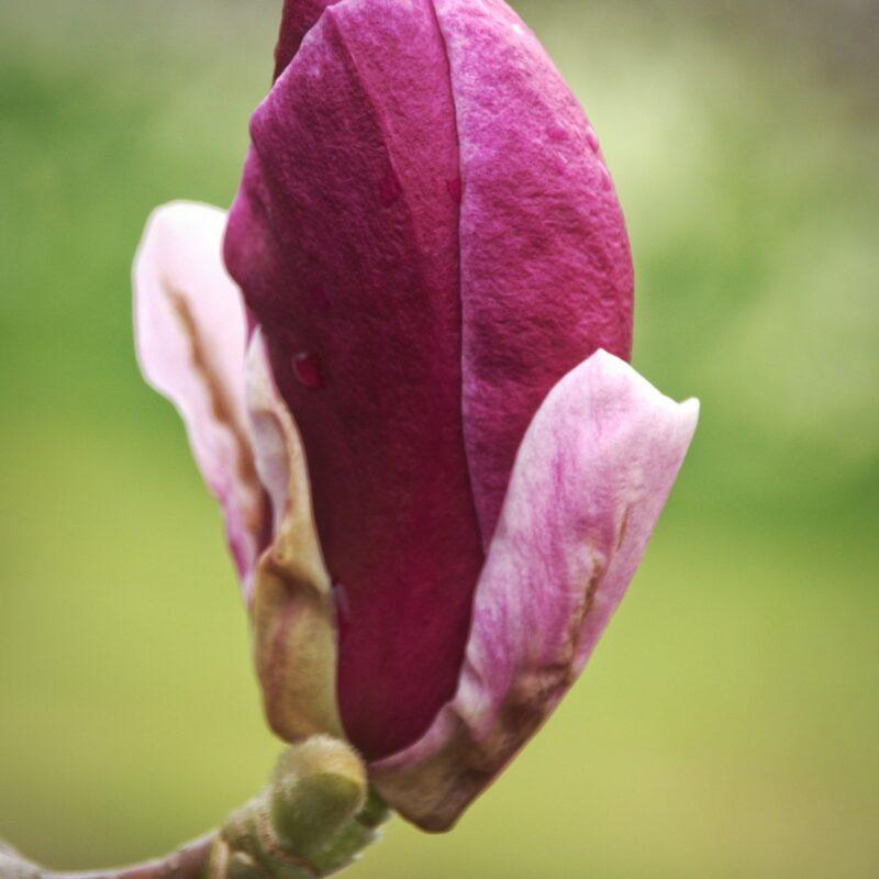 Magnolia 'Joe MacDaniel' (Rich Pink)