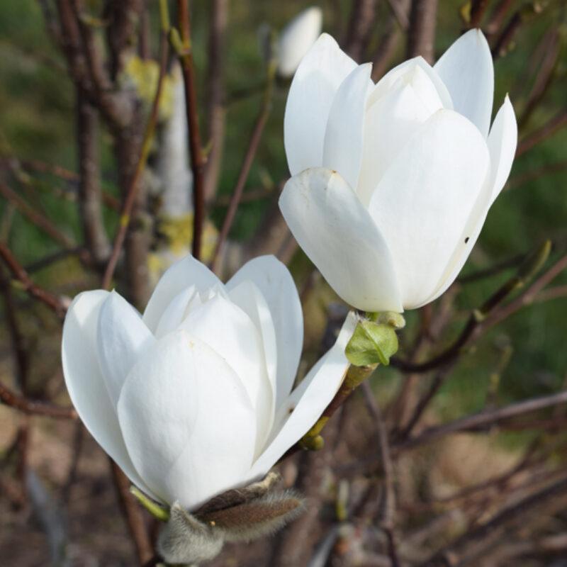 Magnolia 'Joli Pompom' (White)