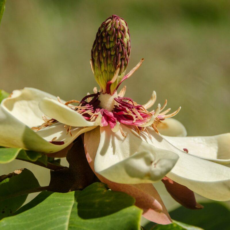 Magnolia obovata (White)