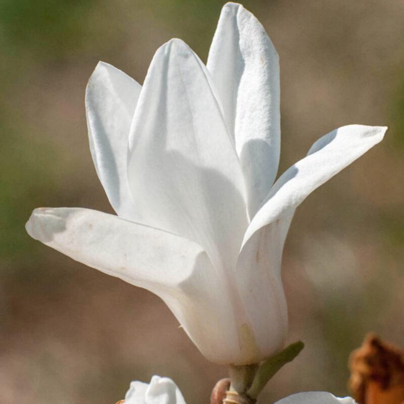 Magnolia 'Pegasus' (White)
