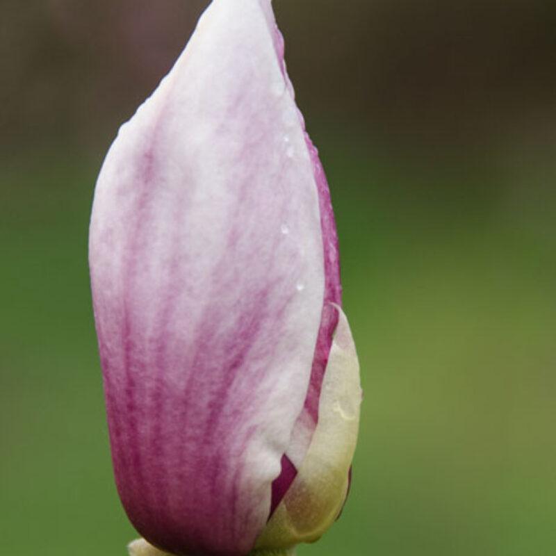 Magnolia 'Rustica Rubra' (Dark Red) 1