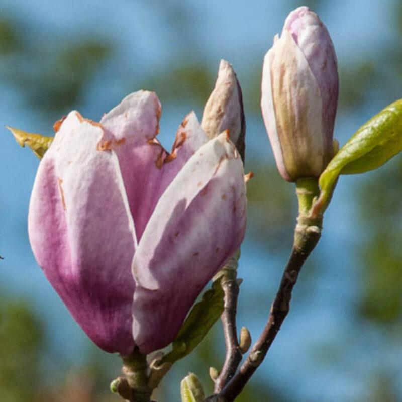 Magnolia 'Rustica Rubra' (Dark Red)