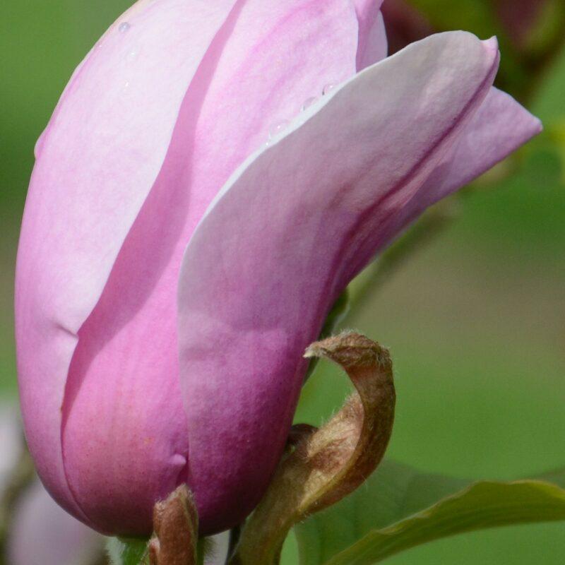 Magnolia 'Serene' (Rose Pink)