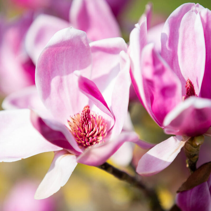 Magnolia 'Shirazz' (Burgundy)