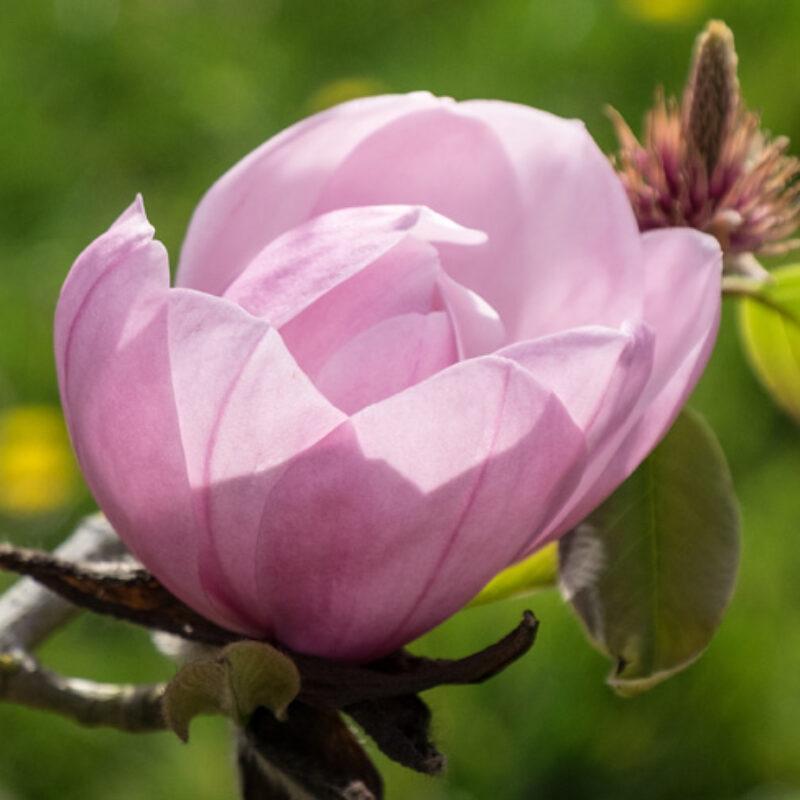 Magnolia 'Sidbury' (Pink)