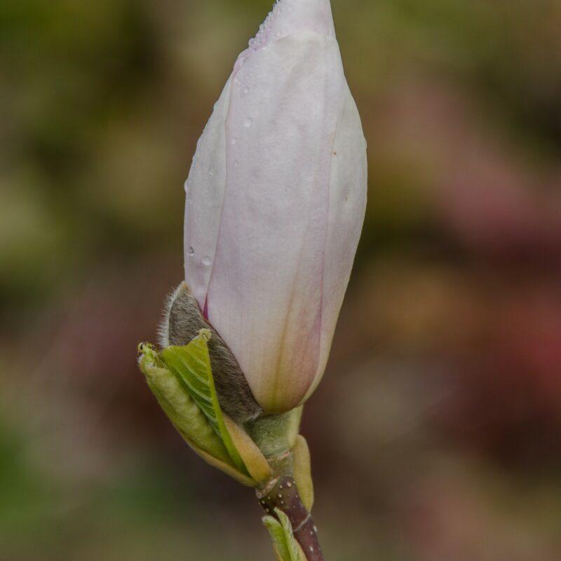 Magnolia soulangeana 'Sundew' (Creamy White/Pink) 1
