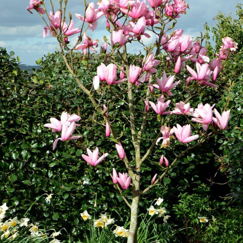 Magnolia 'Star Wars' (Pink) 1