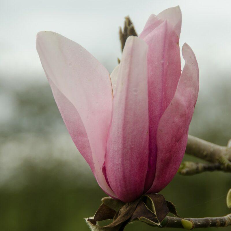 Magnolia 'Star Wars' (Pink)