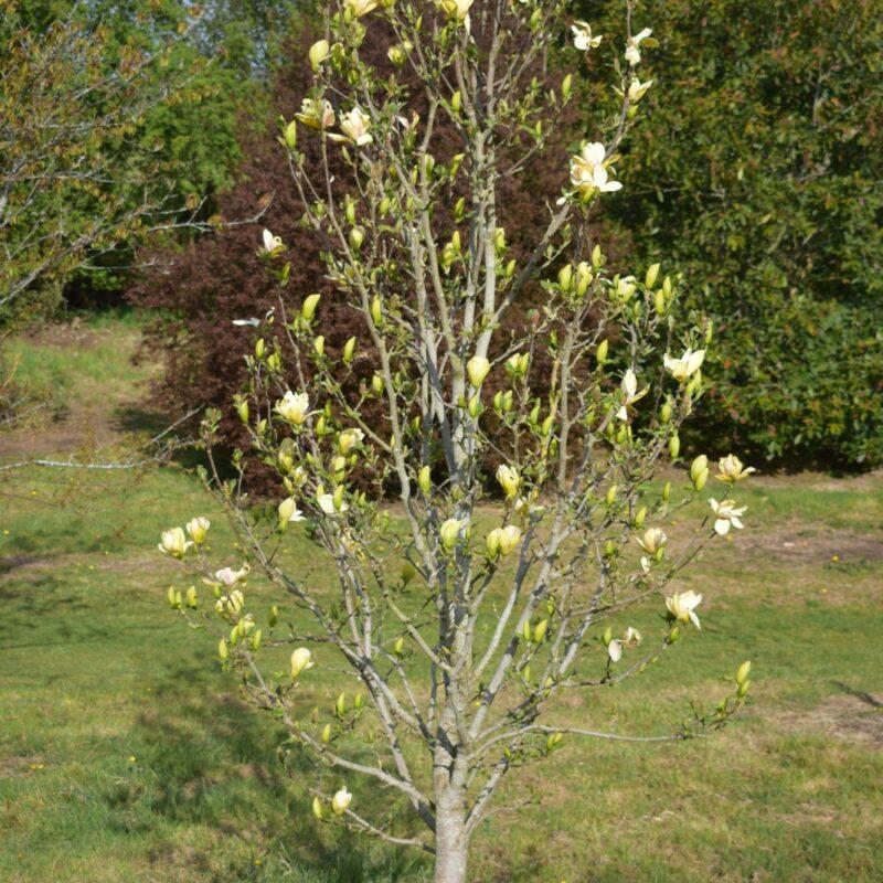 Magnolia 'Sunsation' (Yellow) 3